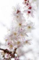 Hvordan Trim en Yoshino Cherry Tree