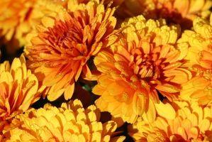 Hva betyr det å Pinch Tilbake Flowers?