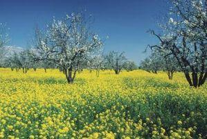 Slik beskytter Apple Trees Fra Frost