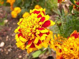 Hva Blomster gå bra med Marigolds?