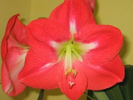 amaryllis blomstre igjen