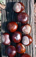 Hvordan Grow kinesisk Chestnut Trees Fra Seed
