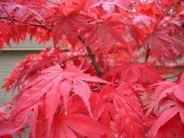Typer av japanske Maple Trees