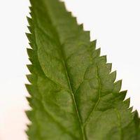 Slik fjerner Nettle Thorns