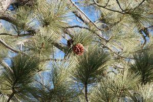 Små Pine Trees for Landscaping