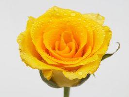 Blomster som betyr lykke