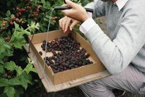 10 Forskjellige fruktbærende Planter