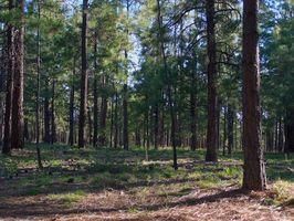 Hvordan Grow Pine Trees til salgs