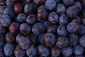 En Damson Plum som ikke vil produsere frukt