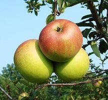 Hvordan Grow Apple Trees