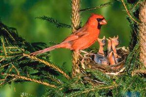 Tomat Planter og Cardinals