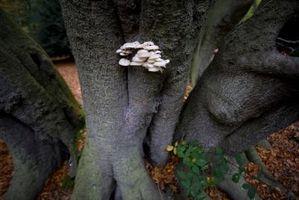 Hvordan behandle Hvit Wood Rot