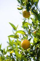 Hvordan regrow Døde Orange Trees