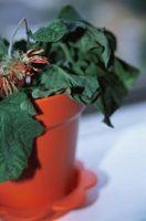 Hva betyr det når en Plant siger ned?