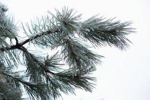 Hvordan identifisere eviggrønne trær