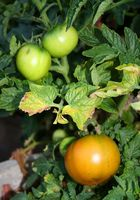 Mine Tomato Planter Er Wilting og har gule flekker