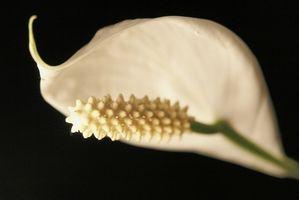 Slik Care for Økende freds Liljer