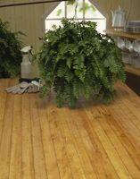 Slik Care for Ferns som potteplanter
