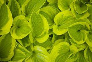 Tropiske Leaf Planter