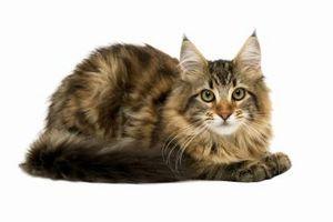 Hvordan Steam Clean Carpets å kvitte seg med Cat Hair