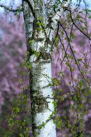 Alder Wood Informasjon