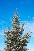 Hjelp med gamle Evergreen Trees
