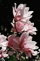 Bladene på My Magnolia treet er visnet