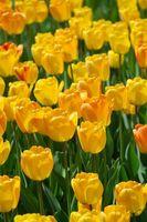 Hvordan å plante tulipaner