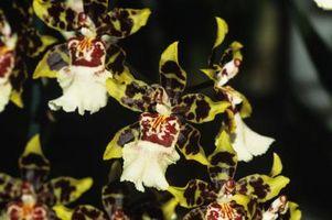 Hvilke typer maur Eat Orchids?