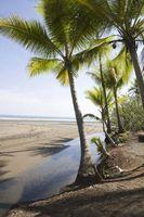 Hvordan bli kvitt en Palm slektstre