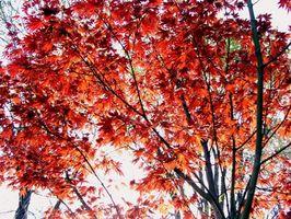 Insekter på Maple Trees