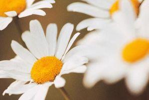 Hvordan å dele Shasta Daisy Planter