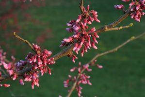 Den beste tiden av året å plante en Redbud treet i Texas