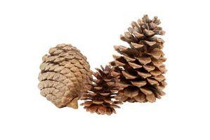 Informasjon om Sugar Pine Trees