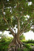 Er Fig Trees Invasive?