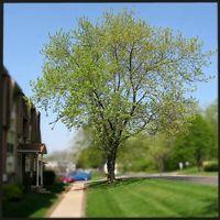 Hvordan å beskjære Silver Maple Trees