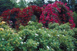 Når Betyr Rosa Gallica Bloom?