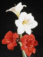 Hva Er Amaryllis Plant?