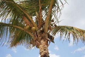 Vekst på en Coconut Palm