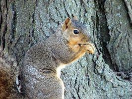 Hvordan holde ekorn ut av pæretrær