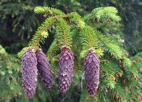 Hvordan Grow en Balsam Fir Tree