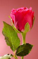 Roser med brune blader