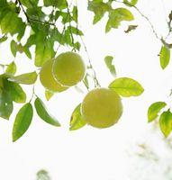 Citrus Tre Størrelse
