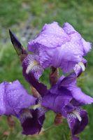 Hvordan Grow og distribuere Bearded Iris Planter