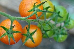 Hvordan å dyrke tomater i Sør-Afrika