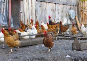 Hvor å Feilfri Chicken Coops