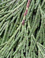 Cedar Tree Størrelse