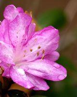 Hvordan Root Asalea Fra etablerte planter