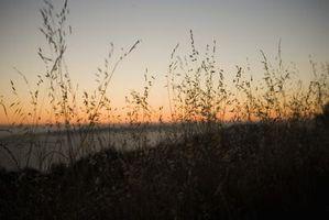 Wild Oat Weeds