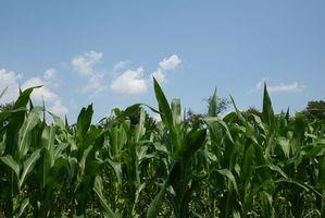 Forskjellige planter som kan brukes til etanolproduksjon